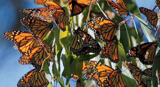 Monarch butterflies by Yuval Helfman photographer